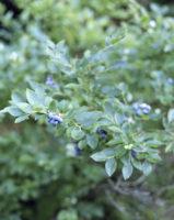 blueberry001